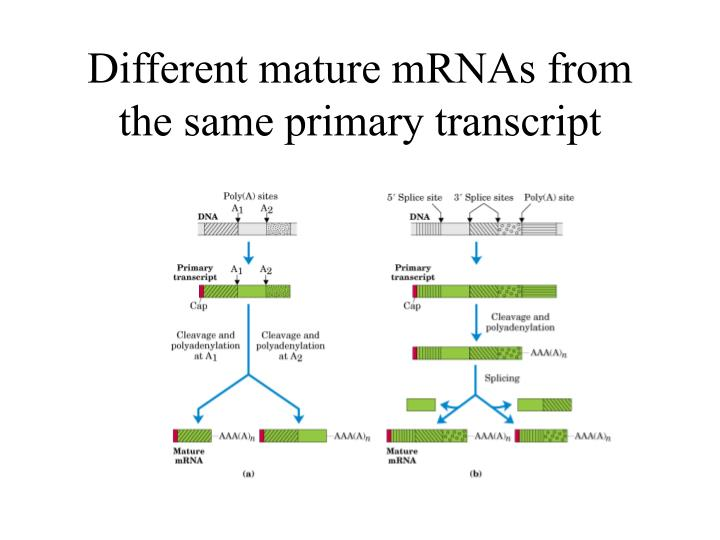 Different mature mRNAs from the same primary transcript