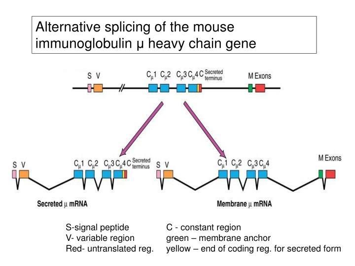Alternative splicing of the mouse immunoglobulin