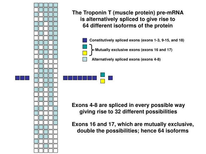 The Troponin T (muscle protein) pre-mRNA