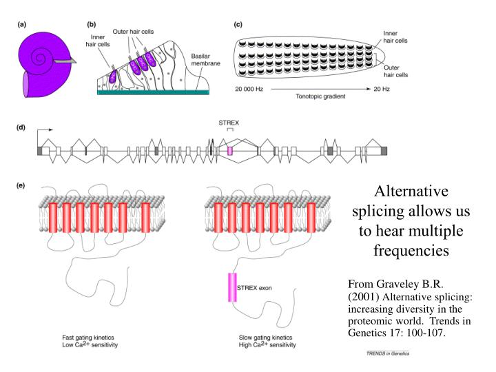 Alternative splicing allows us to hear multiple frequencies