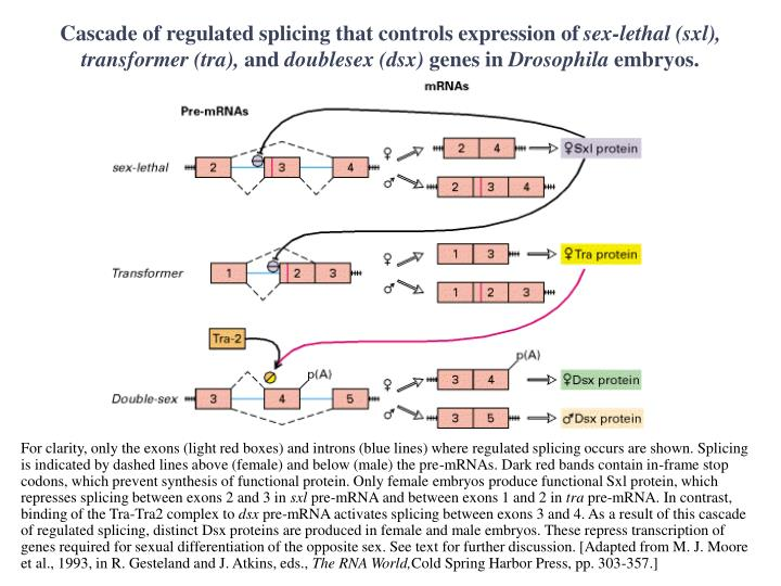 Cascade of regulated splicing that controls expression of