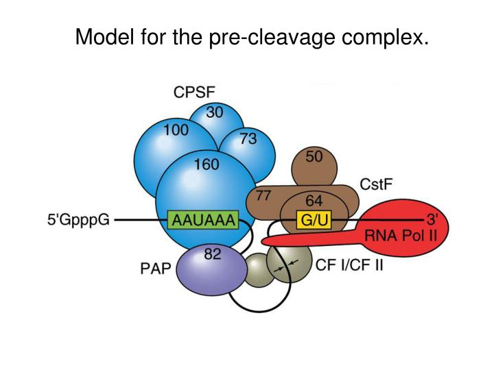 Model for the pre-cleavage complex.