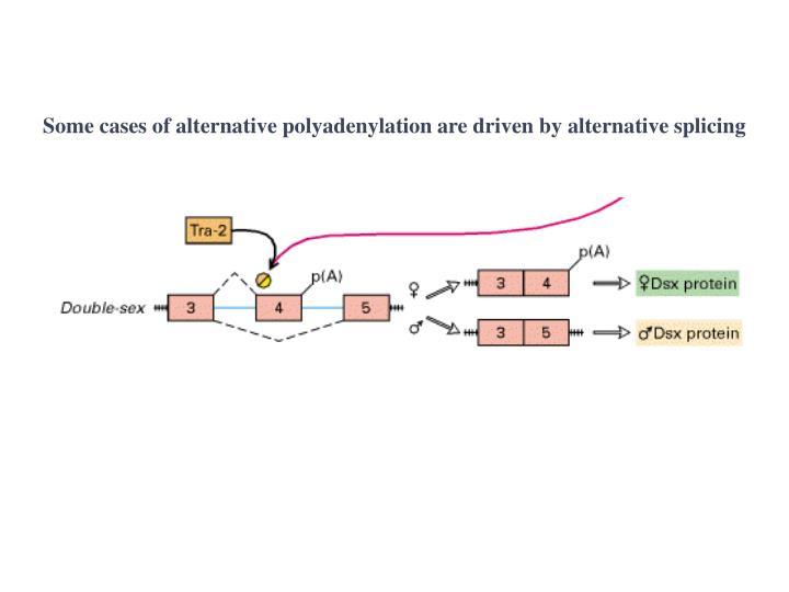 Some cases of alternative polyadenylation are driven by alternative splicing