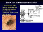 life cycle of onchocerca volvulus3