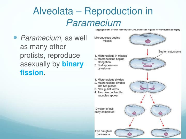 Alveolata – Reproduction in