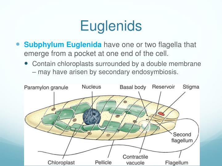 Euglenids