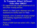 is transgenic wheat different from other gmos