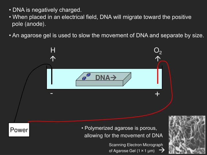 • When placed in an electrical field, DNA will migrate toward the positive