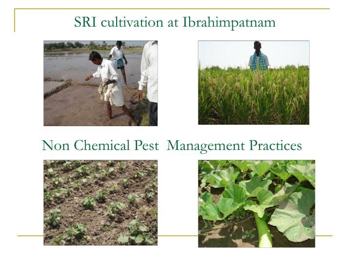 SRI cultivation at Ibrahimpatnam