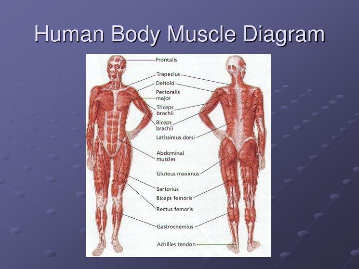 Human Body Muscle Diagram