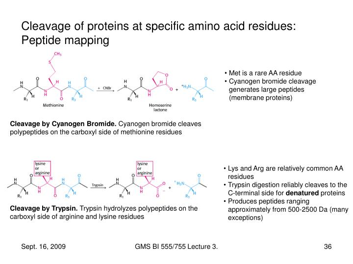 Cleavage of proteins at specific amino acid residues: