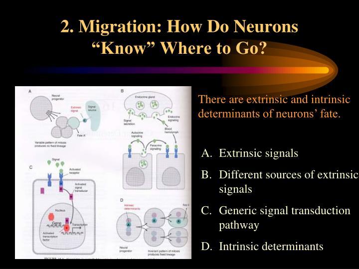 """2. Migration: How Do Neurons """"Know"""" Where to Go?"""