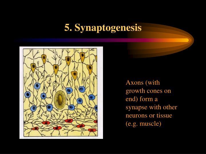 5. Synaptogenesis
