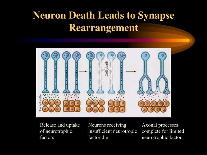 Neuron Death Leads to Synapse Rearrangement