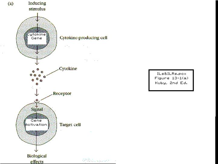 Inter-Leukins and IL-Receptors