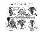 rust fungus life cycle