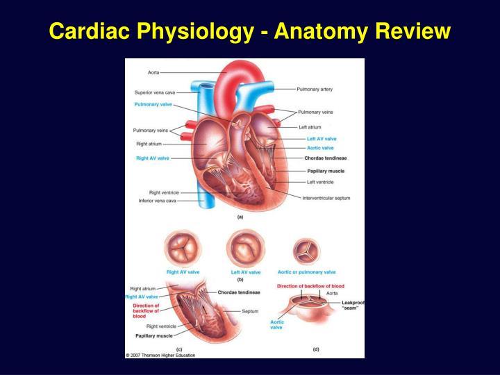 Cardiac physiology anatomy review