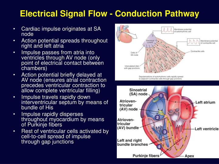 Electrical Signal Flow - Conduction Pathway