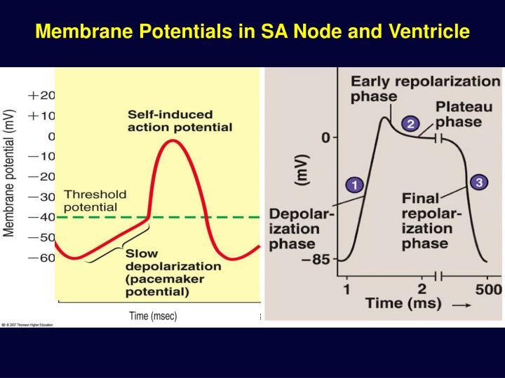 Membrane Potentials in SA Node and Ventricle