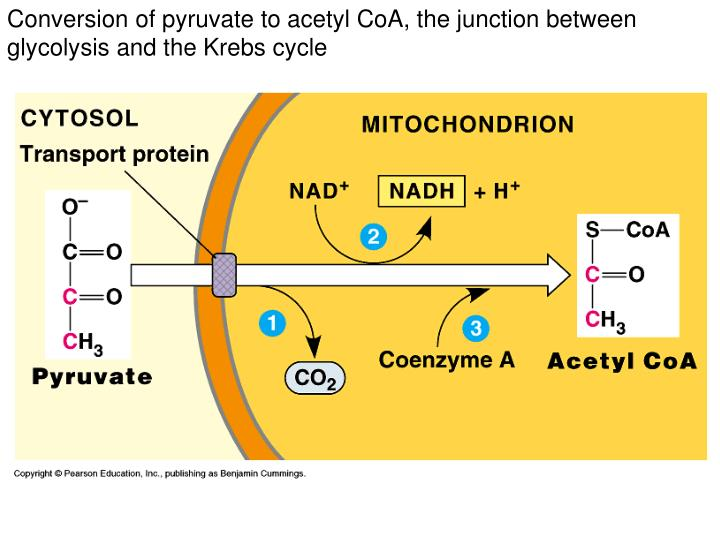 Conversion of pyruvate to acetyl CoA, the junction between glycolysis and the Krebs cycle