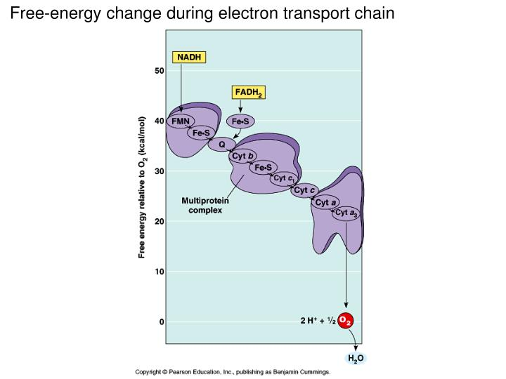 Free-energy change during electron transport chain