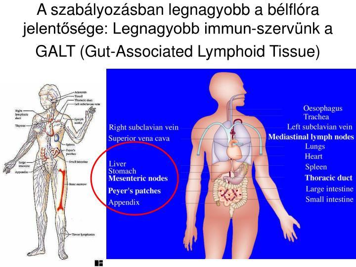 A szabályozásban legnagyobb a bélflóra jelentősége: Legnagyobb immun-szervünk a GALT (Gut-Associated Lymphoid Tissue)