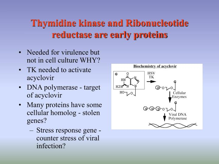 Thymidine kinase and Ribonucleotide reductase are early proteins