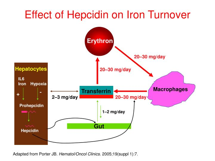 Effect of Hepcidin on Iron Turnover