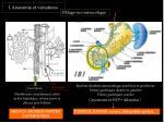 1 anatomie et variations2