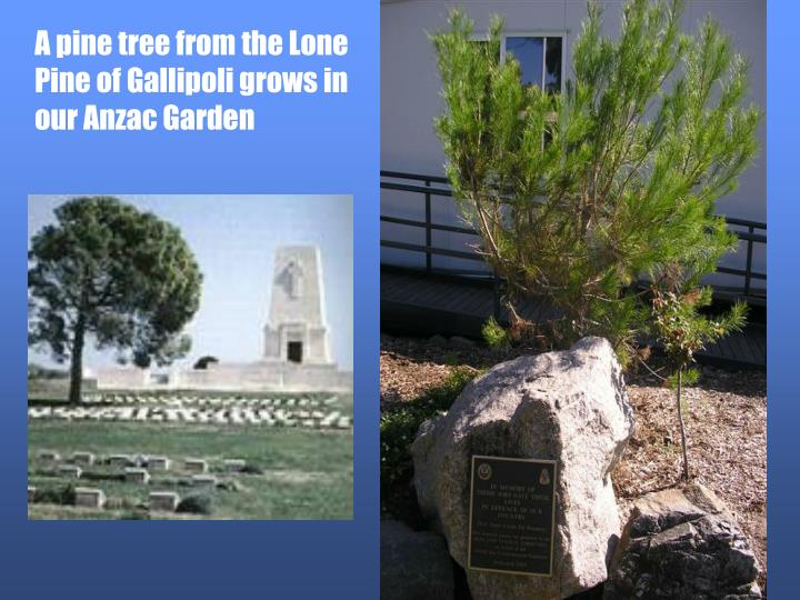 A pine tree from the Lone Pine of Gallipoli grows in our Anzac Garden
