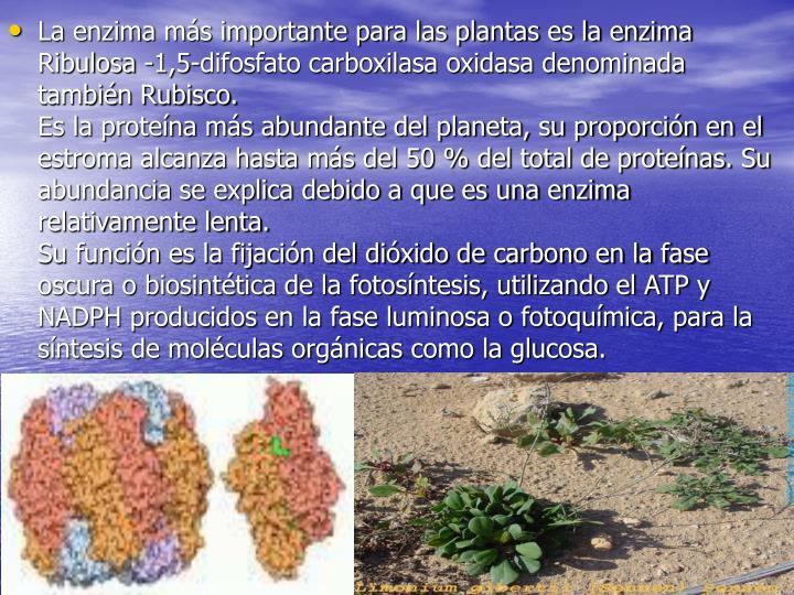 La enzima más importante para las plantas es la enzima Ribulosa -1,5-difosfato carboxilasa oxidasa denominada también Rubisco.