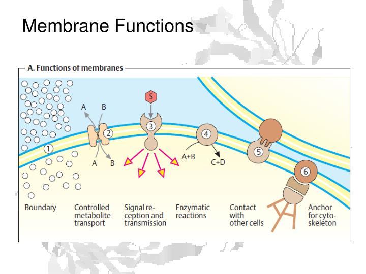 Membrane Functions