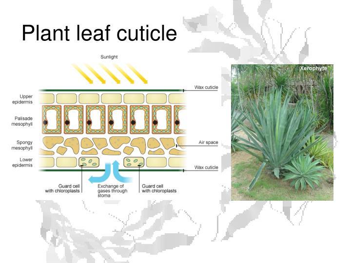 Plant leaf cuticle