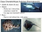 class chondrichthyes subclass elasmobranchii