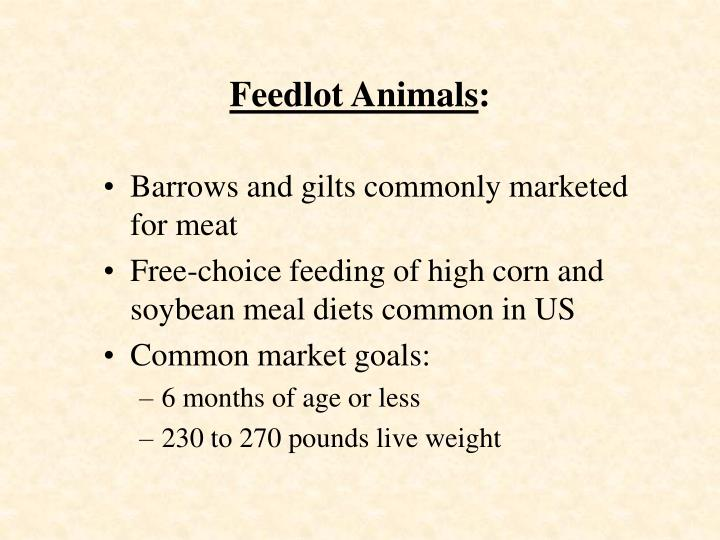 Feedlot Animals