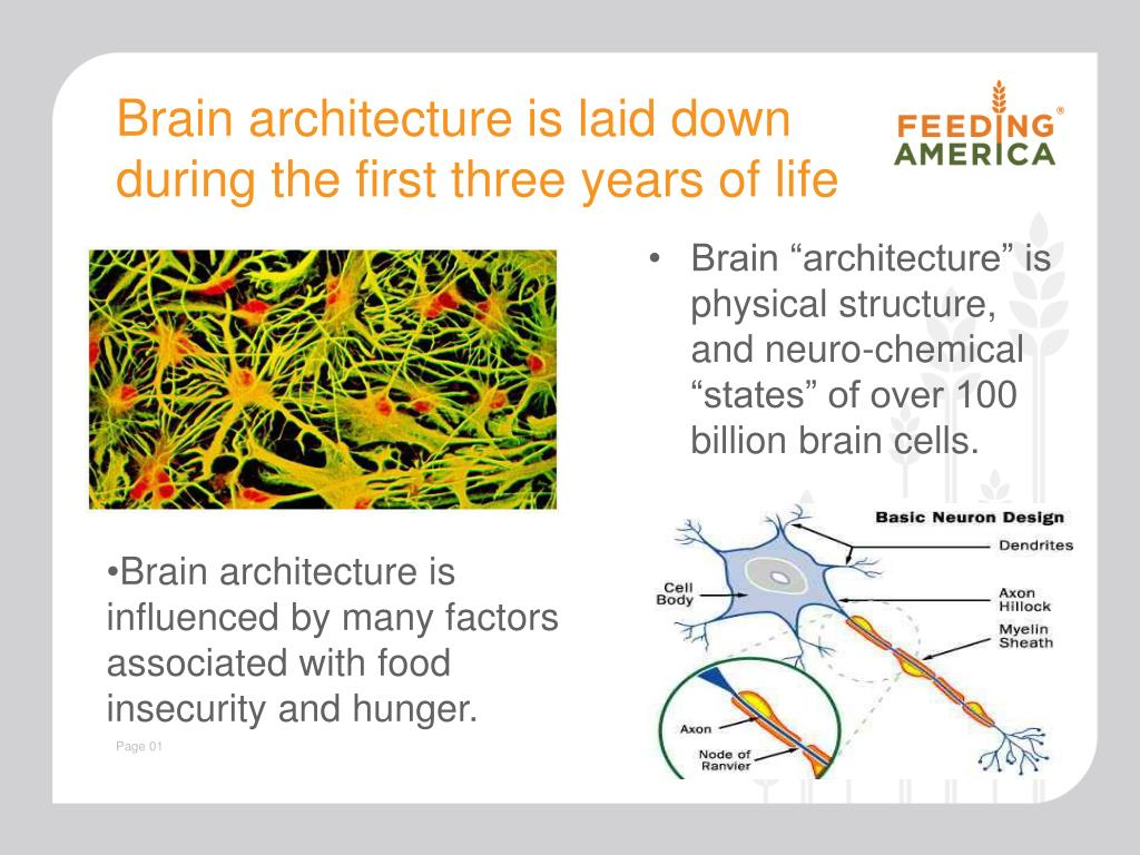 Brain architecture is laid down