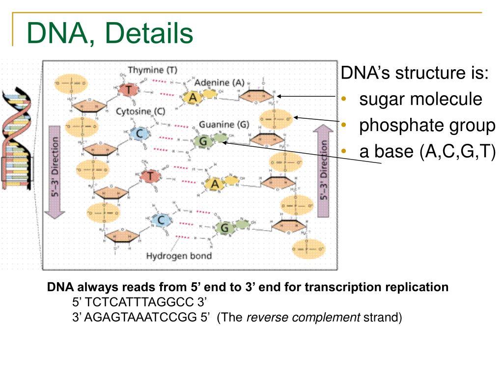 DNA, Details