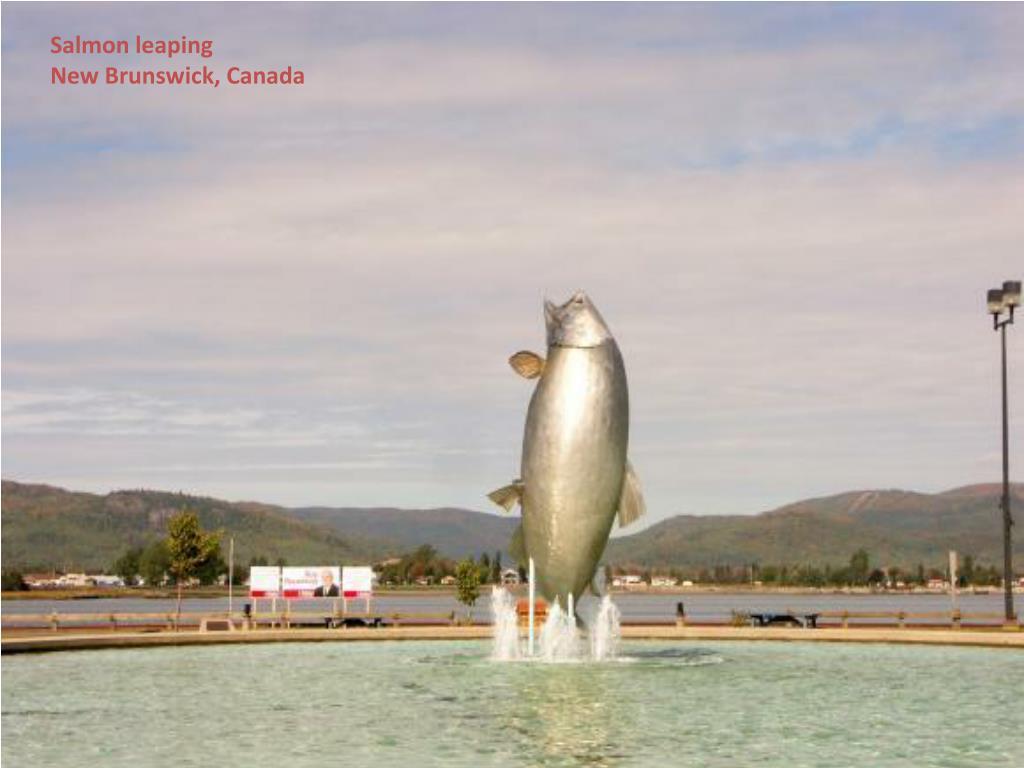 Salmon leaping