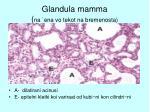 glandula mamma na ena vo tekot na bremenosta37