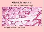 glandula mamma na ena vo tekot na laktacija
