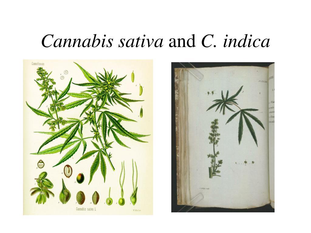 cannabis sativa and c indica l.