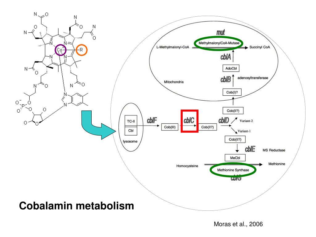 Cobalamin metabolism