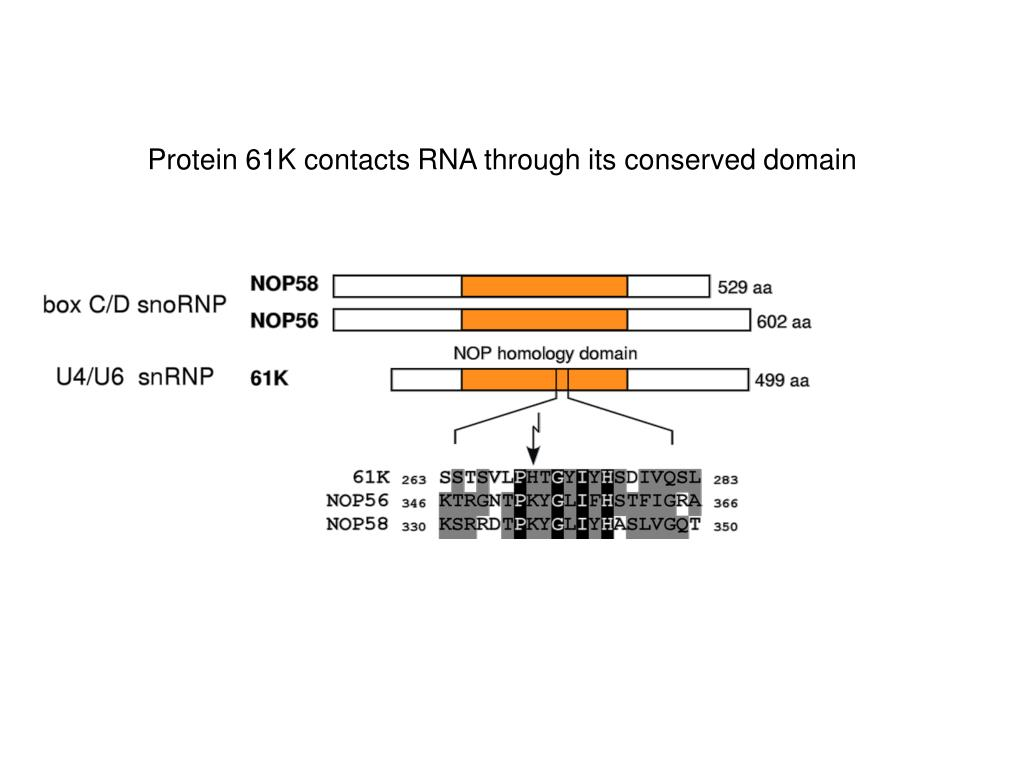 Protein 61K contacts RNA through its conserved domain