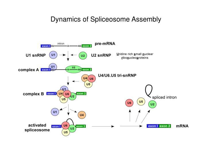 Dynamics of Spliceosome Assembly