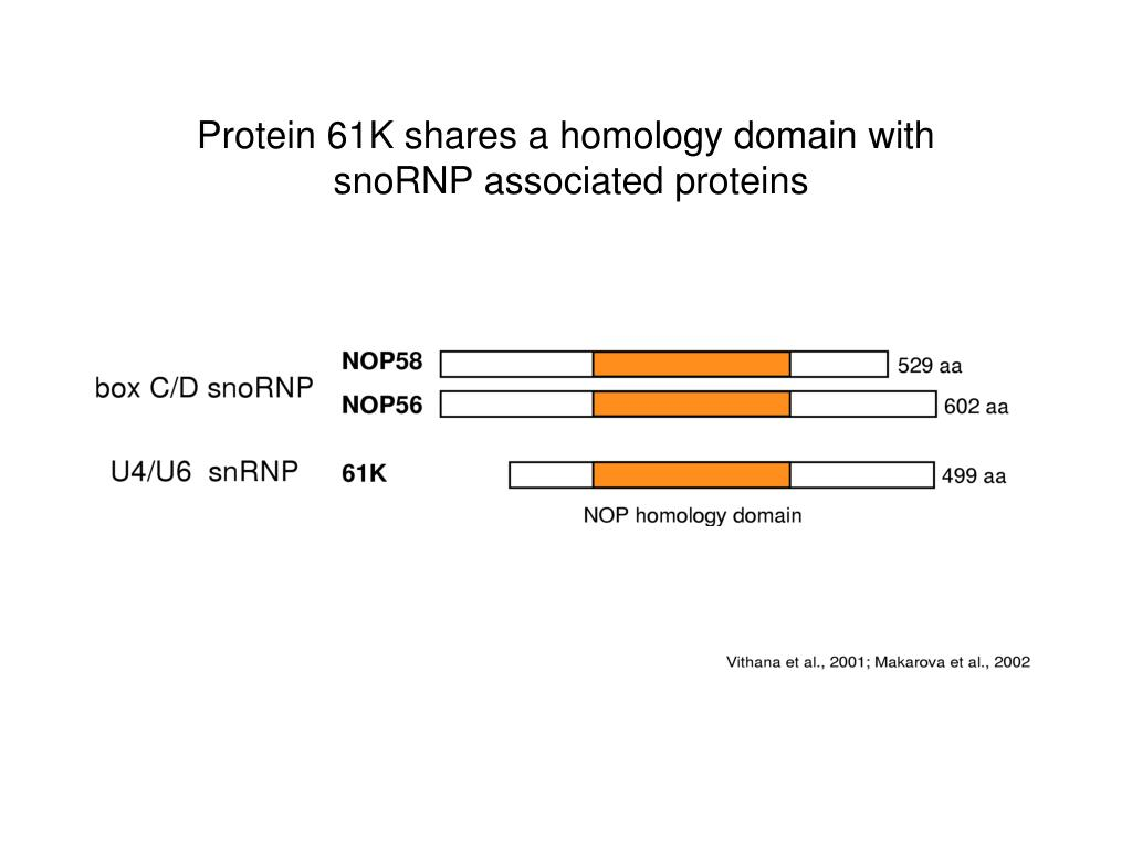 Protein 61K shares a homology domain with