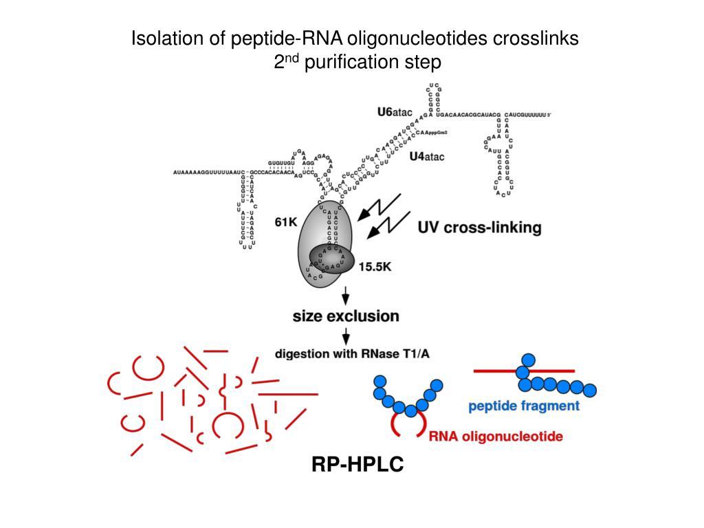 Isolation of peptide-RNA oligonucleotides crosslinks
