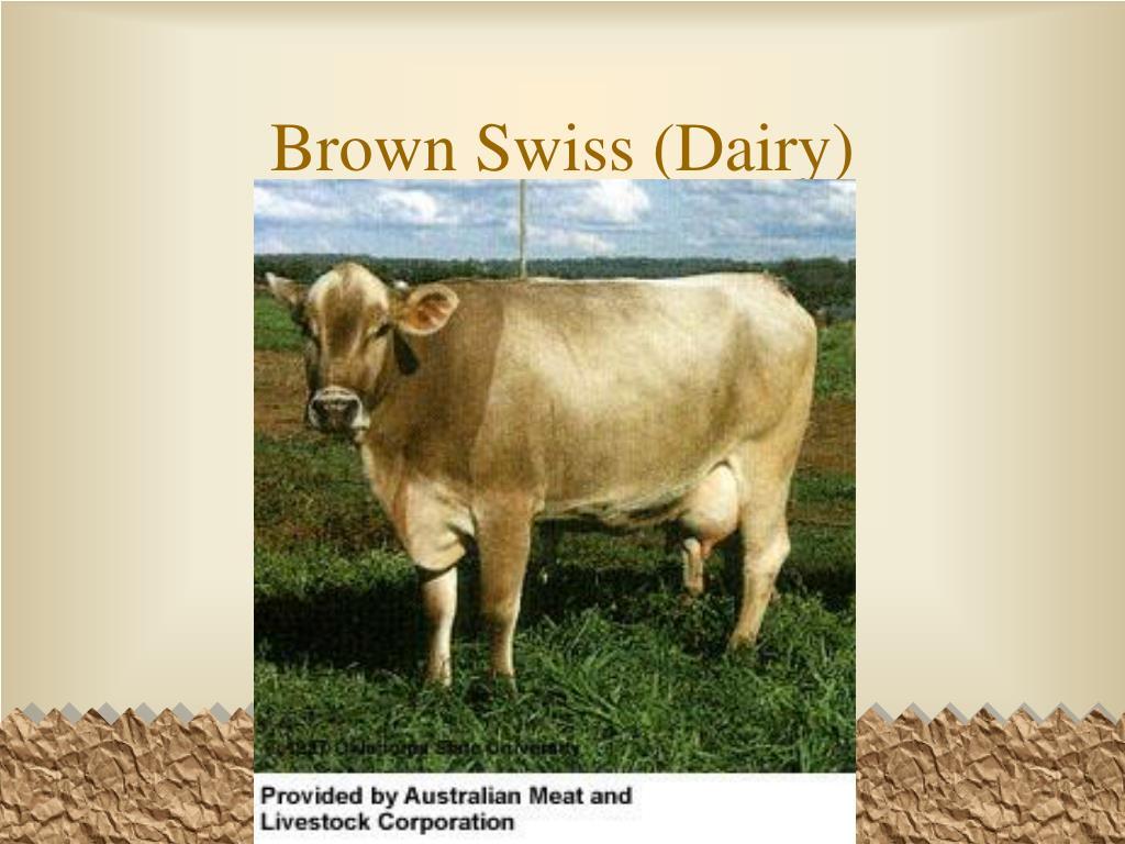 Brown Swiss (Dairy)