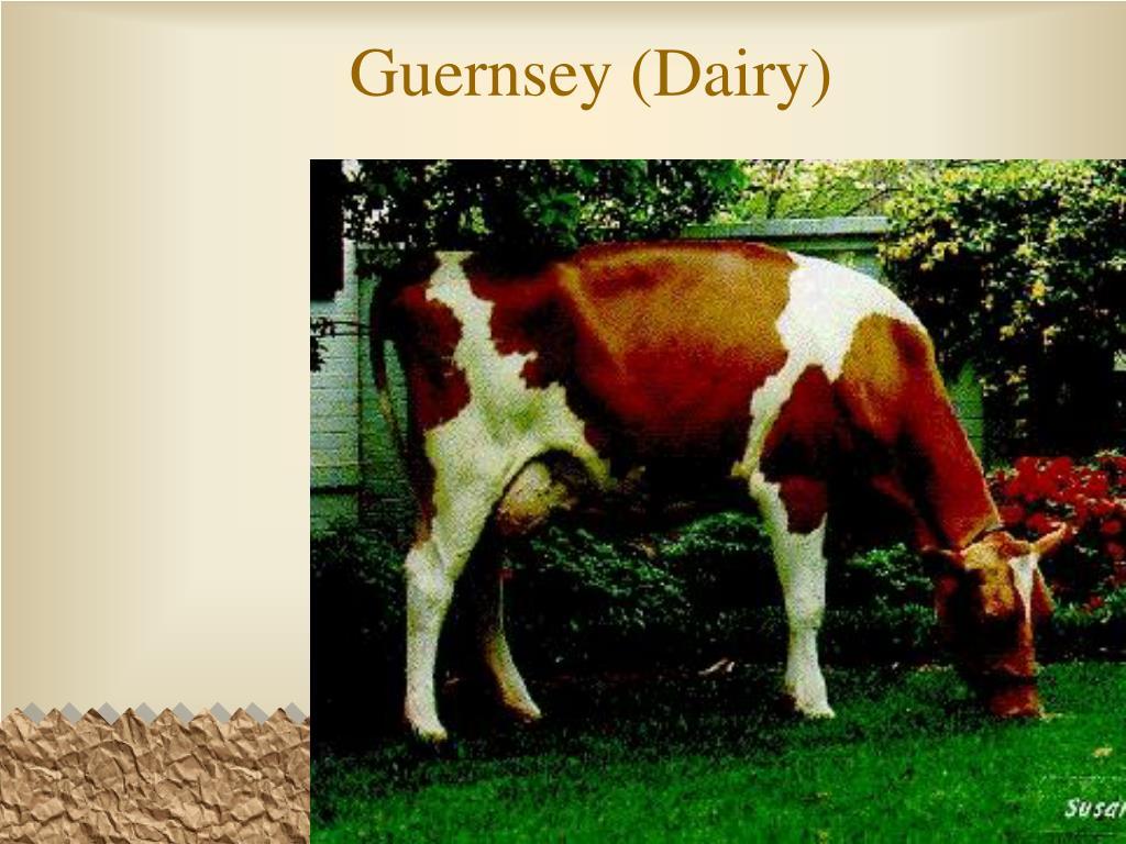 Guernsey (Dairy)