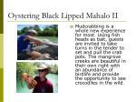 oystering black lipped mahalo ii