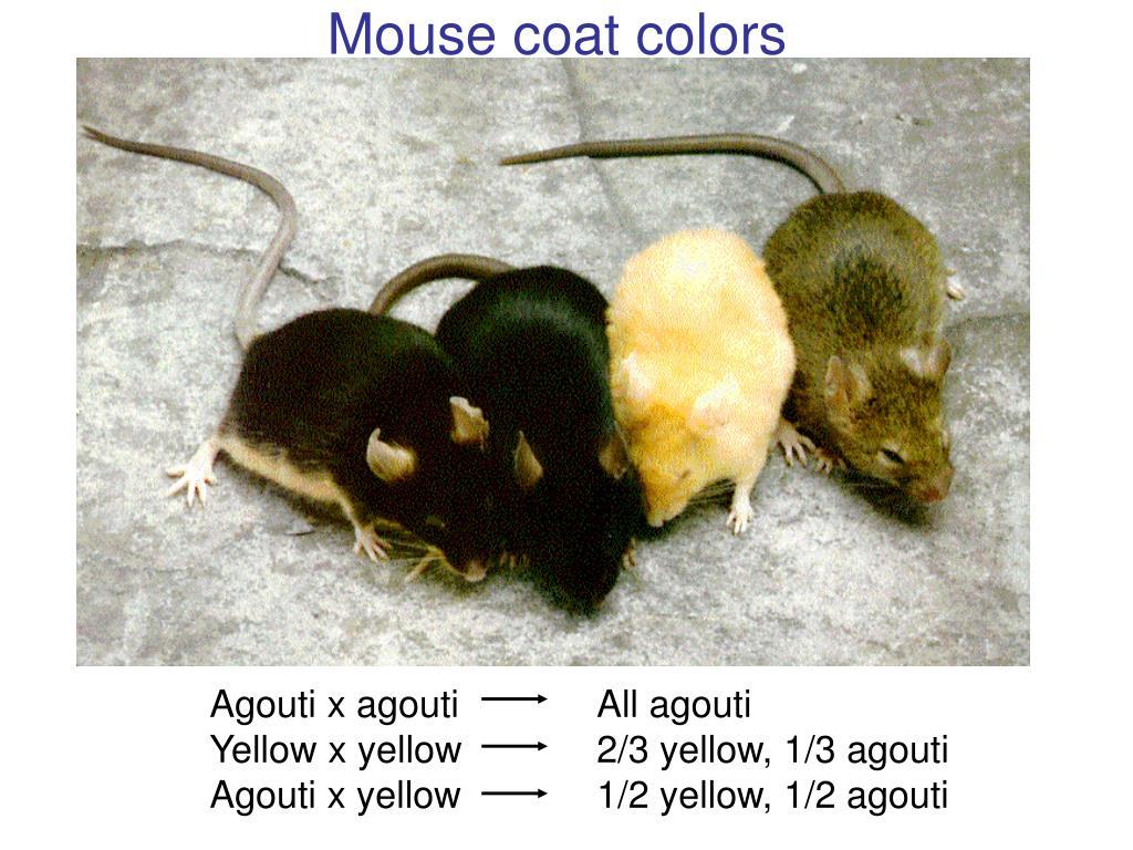 Mouse coat colors